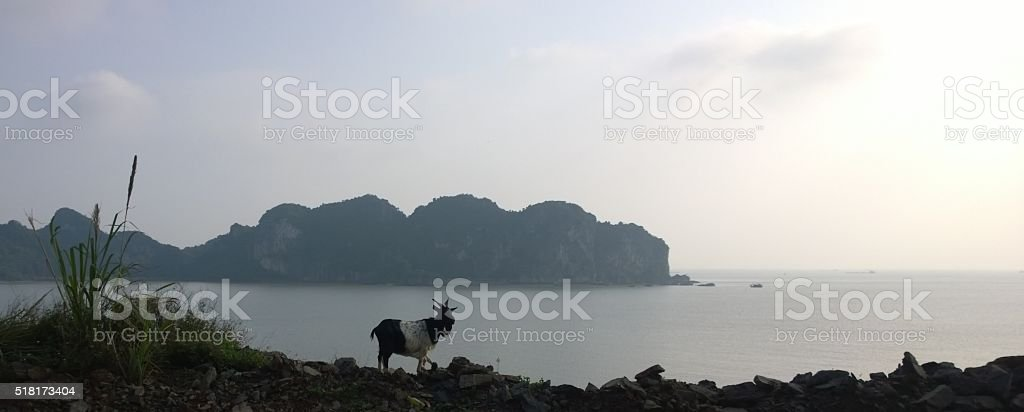 Goat enjoying the view on Cát Bà island stock photo