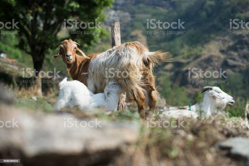 Goat family, goat mother feeding to her cub stock photo