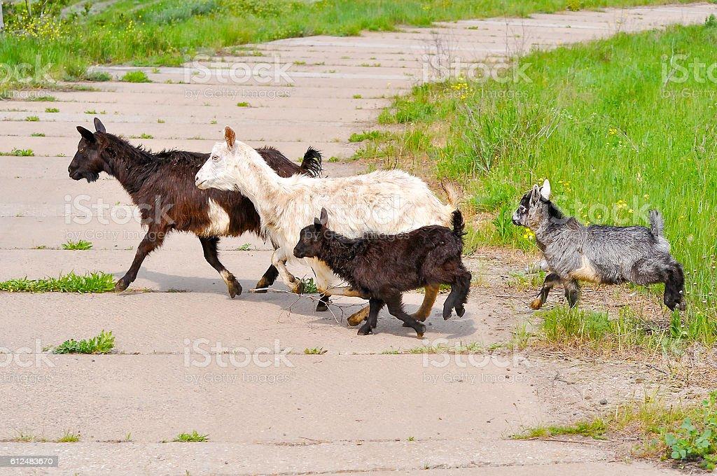 Goat family running across the road stock photo