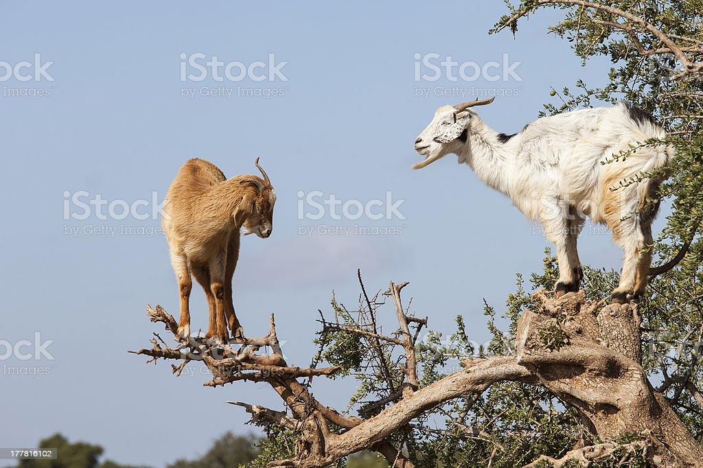 Goat feeding in argan tree. Marocco stock photo