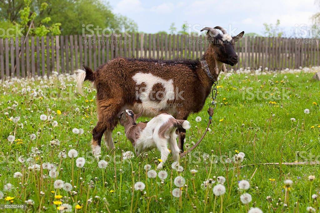 Goat feeding kid stock photo