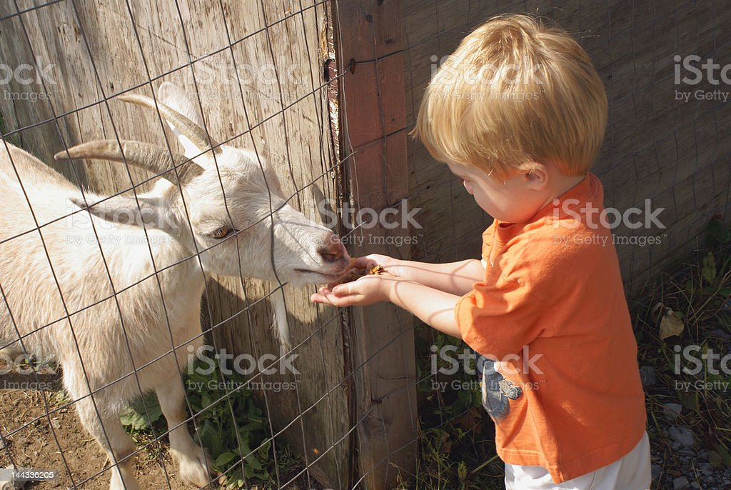 Goat Feeding stock photo