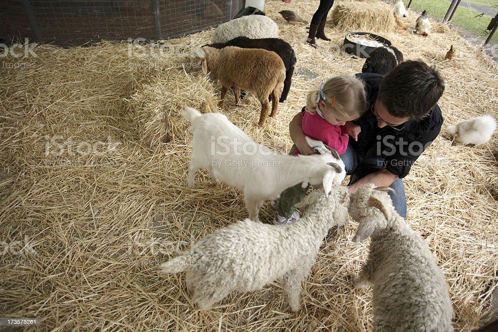 Goat Feeding stock photo