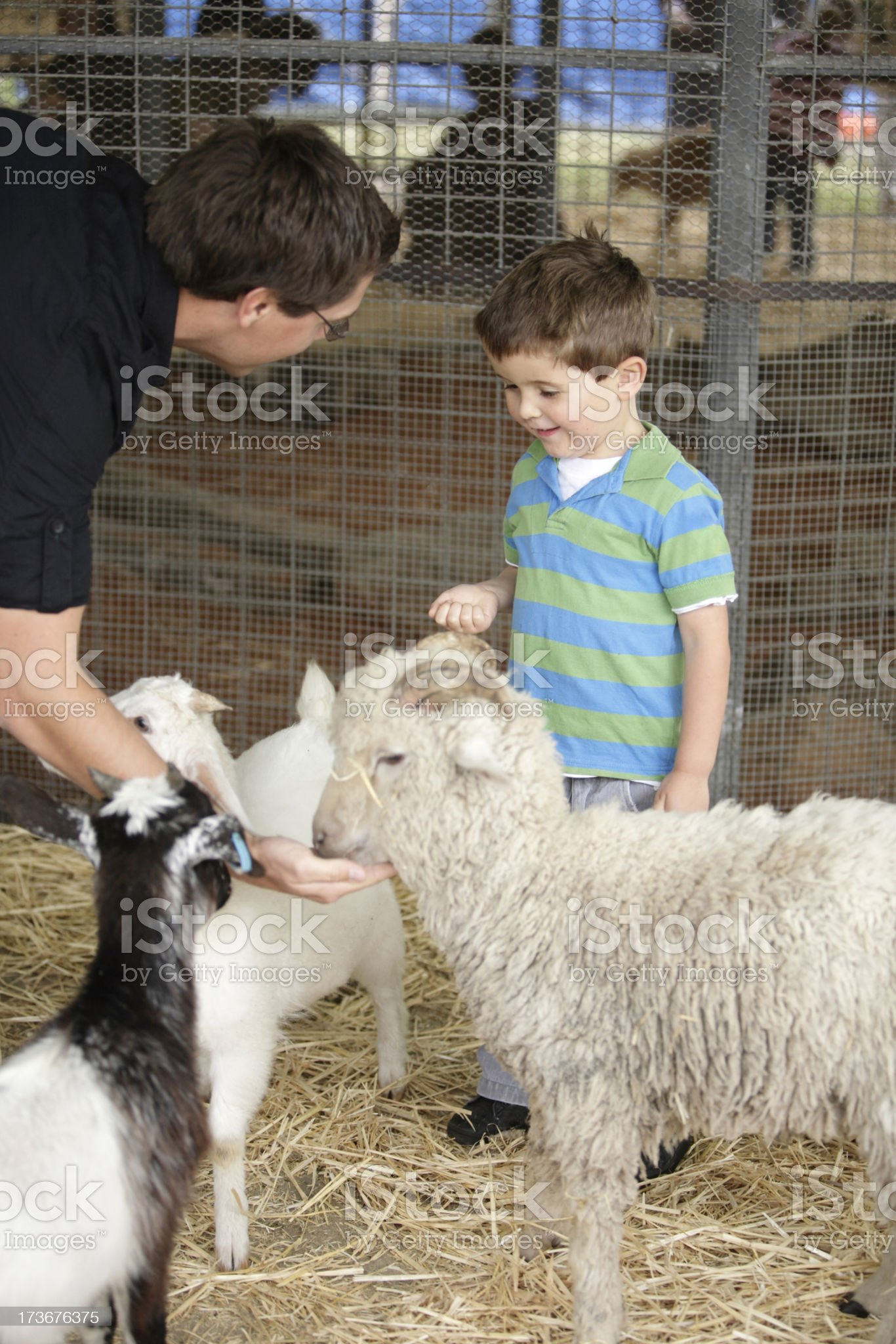 Goat Feeding royalty-free stock photo