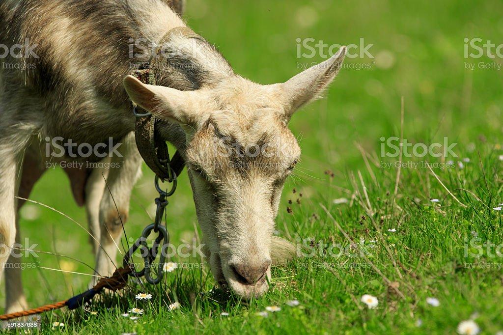 Goat Feeds stock photo