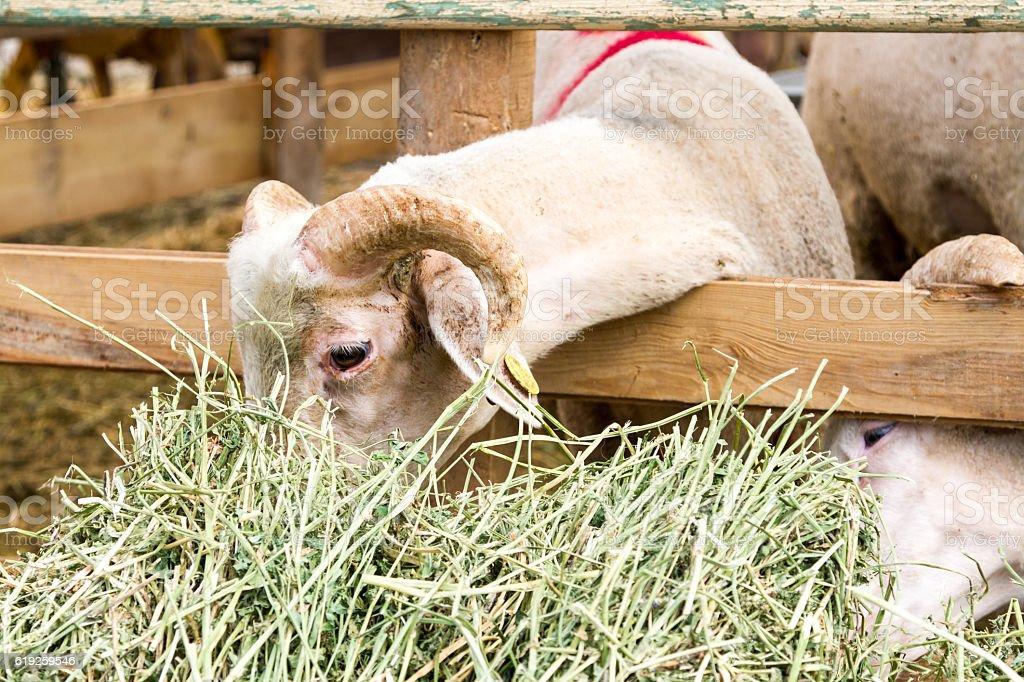 Goat for sacrifice stock photo