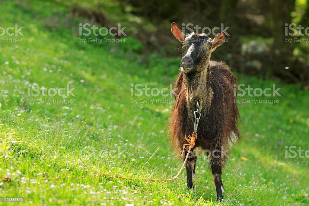 Goat Gawks stock photo