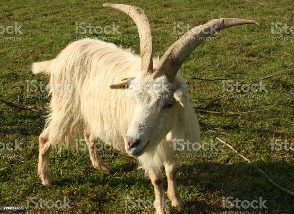 Goat 'Chèvre des fossés' stock photo