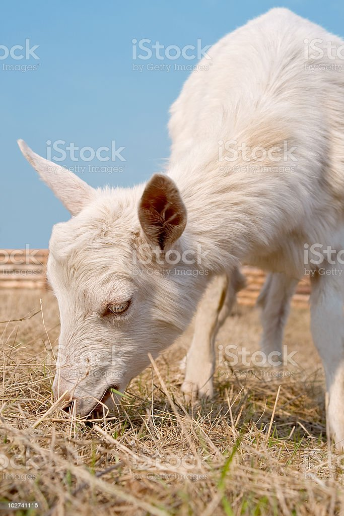 Goat grazed on a pasture. royalty-free stock photo
