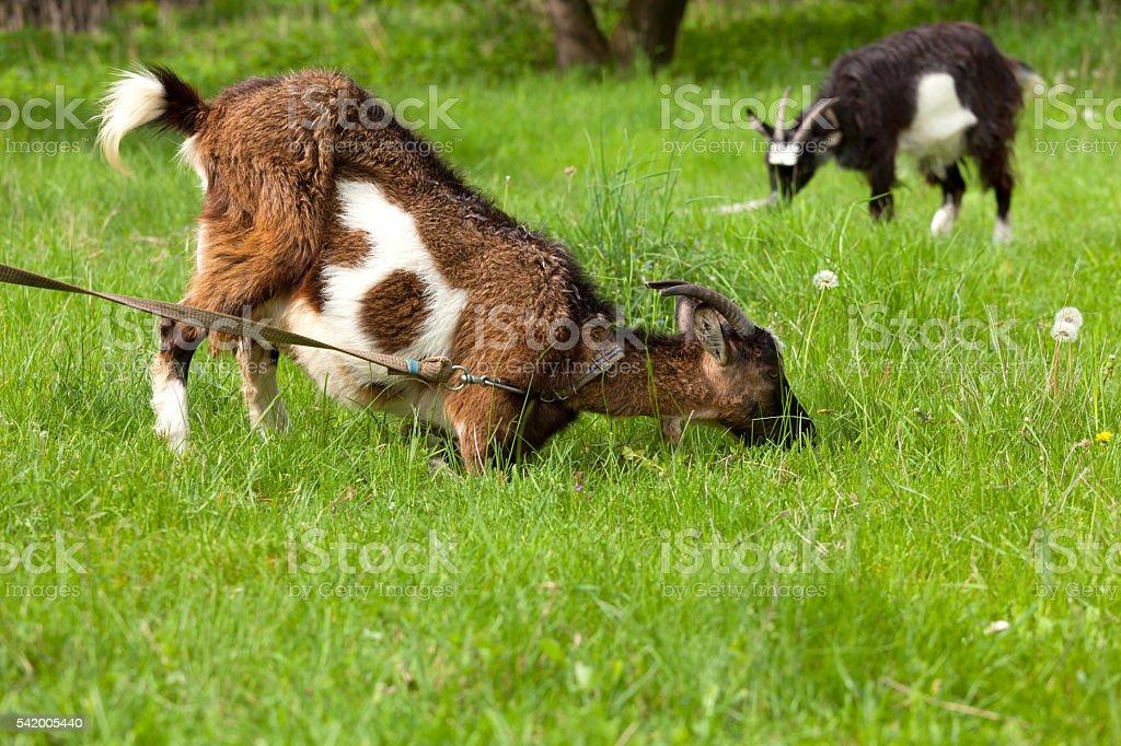 Goat grazing stock photo