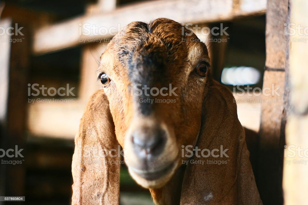 Goat head stock photo