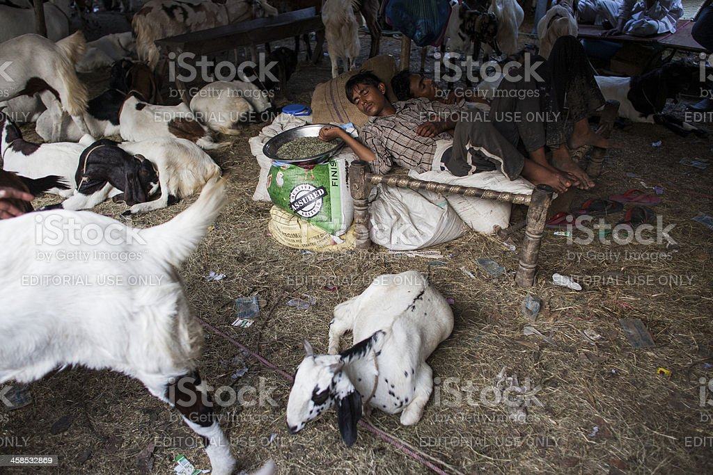 Goat herder sleeps stock photo