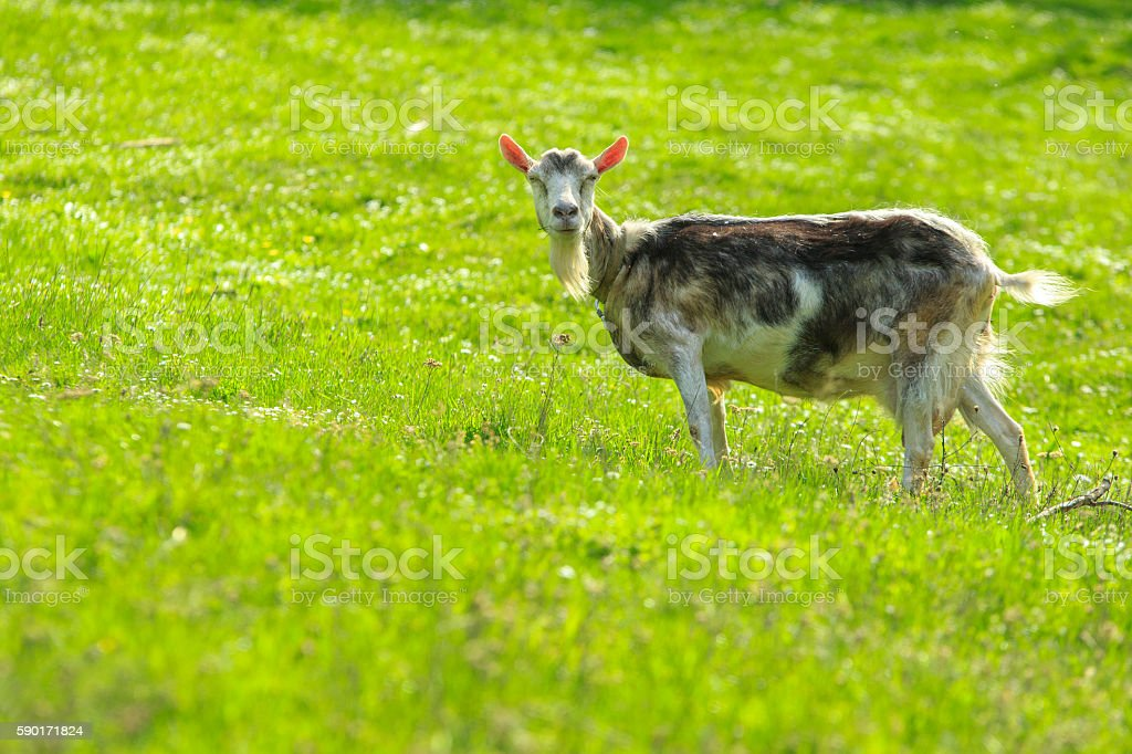 Goat in a Green Field stock photo