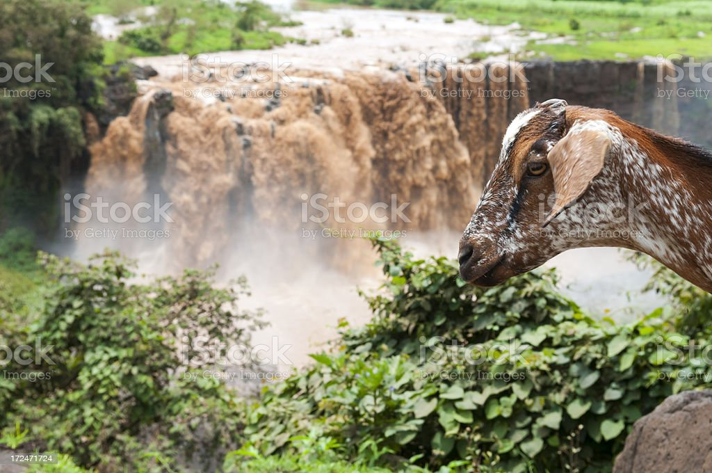 Goat in Africa at Blue Nile Falls in Ethiopia royalty-free stock photo