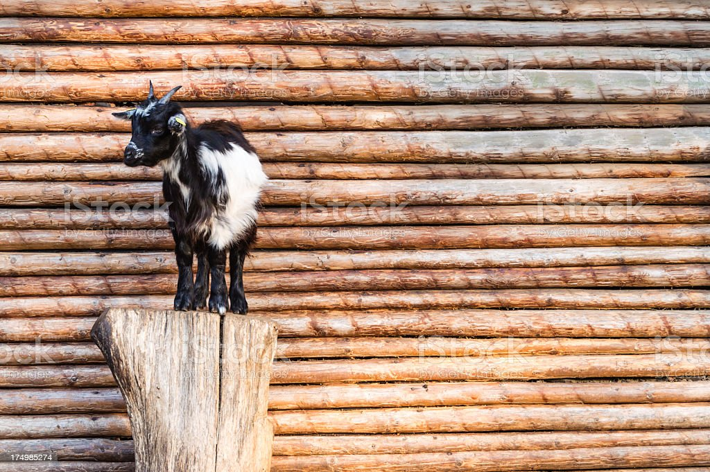Goat in front of a wooden wall stock photo