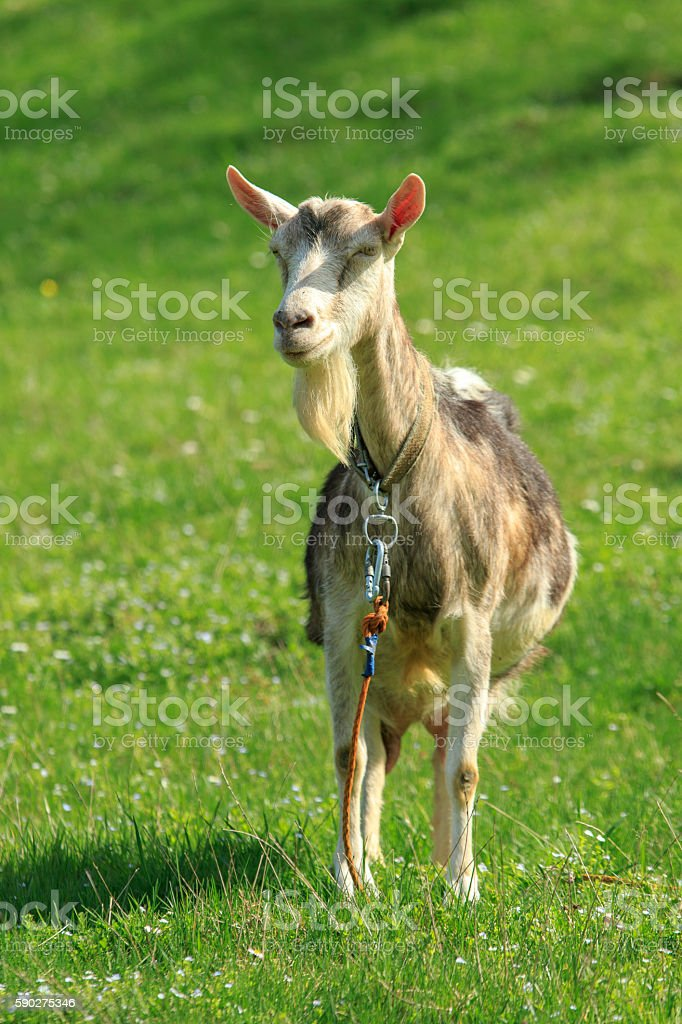 Goat in Front stock photo