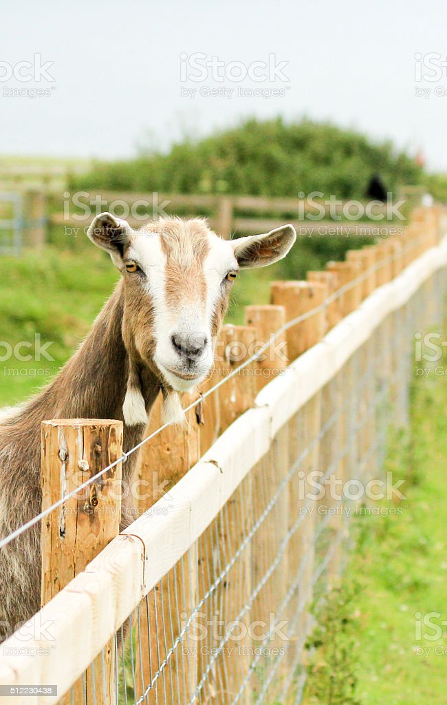 Goat in Gwbert-on-Sea, Wales stock photo