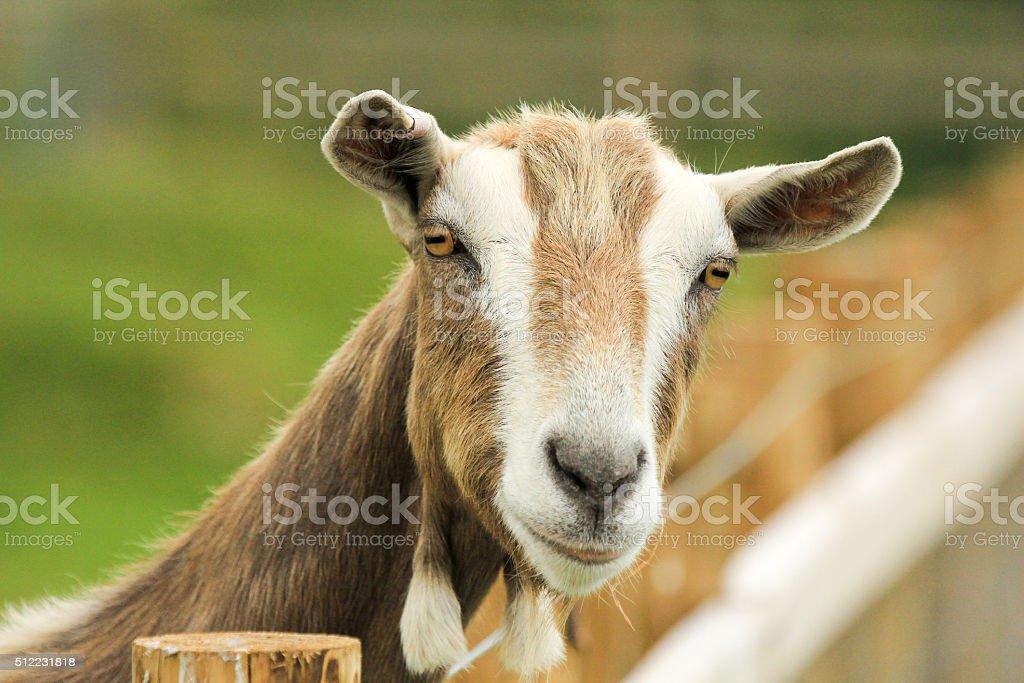 Goat in Gwbert-on-Sea, Wales stock photo