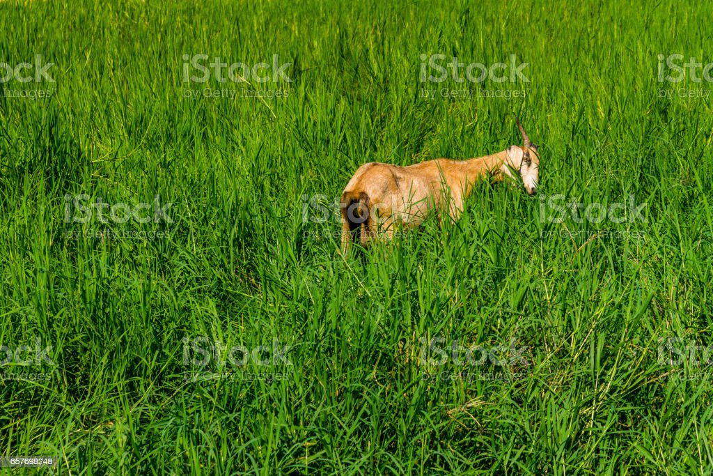 Goat in natural background stock photo