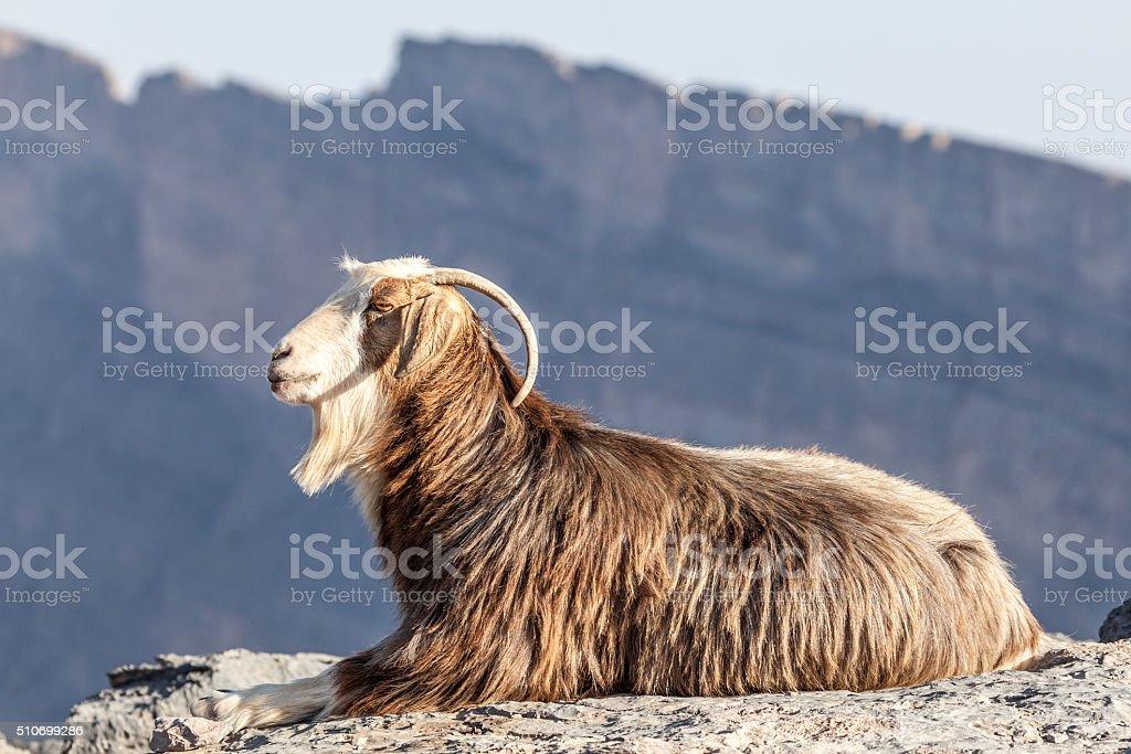 Goat in Oman stock photo