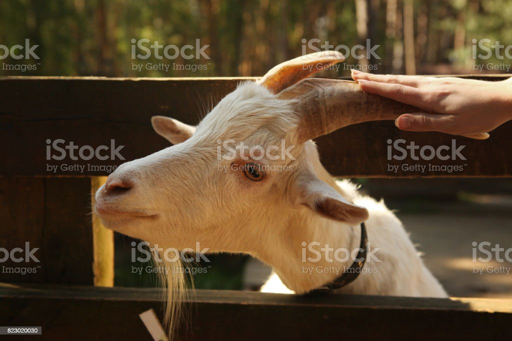 goat in open air zoo close up photo stock photo