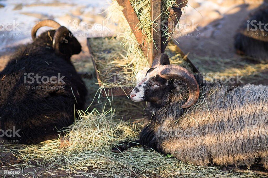 Goat in Snow stock photo