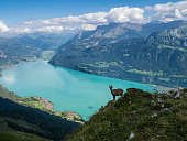 Goat in the Alps of Switzerland - Interlaken