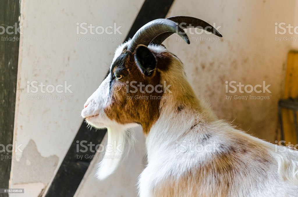 Goat in the barn stock photo