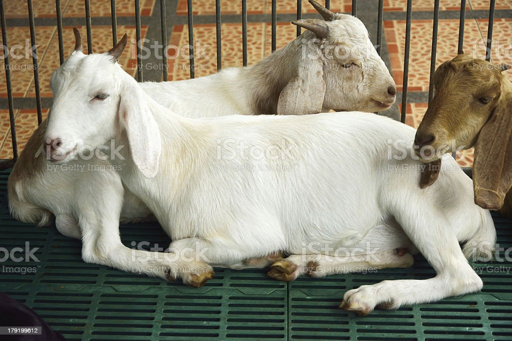 goat in the cage stock photo