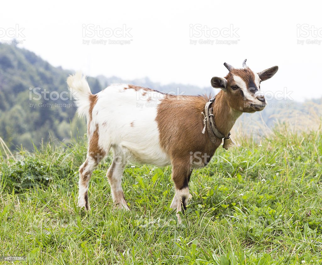 Goat in the mountains stock photo