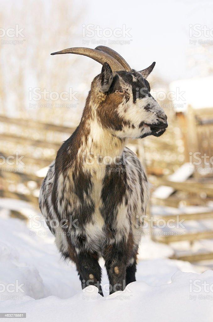 goat in winter stock photo