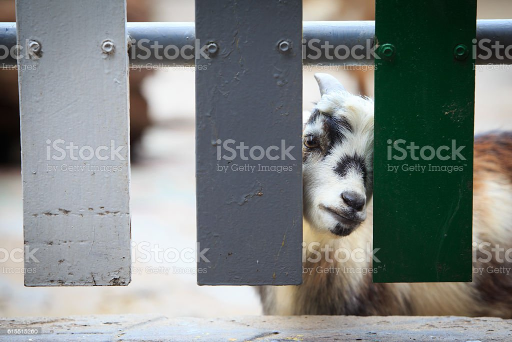 Goat is looking at the camera, through the fence stock photo