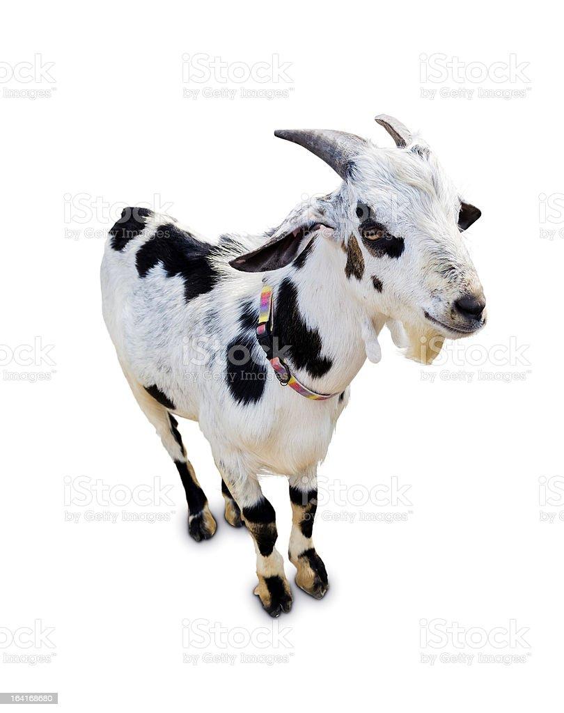 Goat isolate stock photo