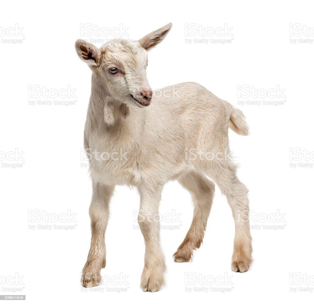 Goat kid (8 weeks old) isolated on white stock photo