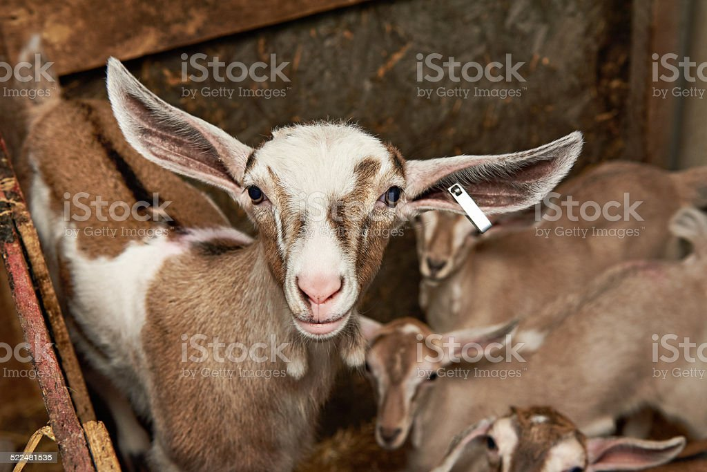 Goat kids in corral on farm stock photo