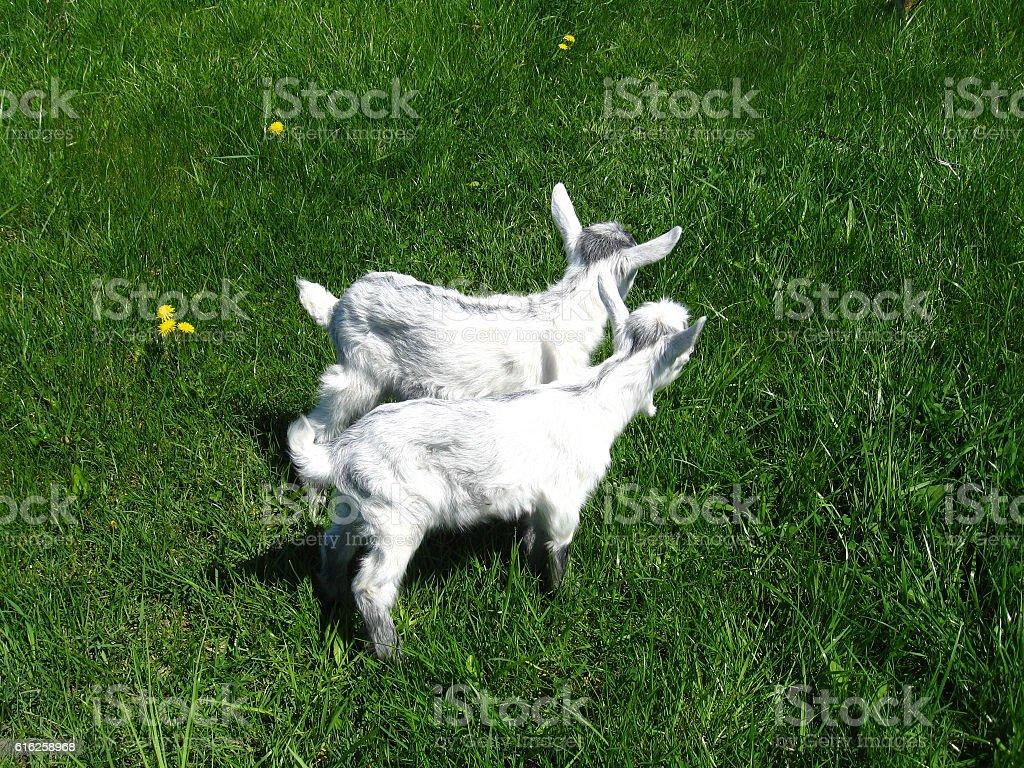 Goat kids on the pasture stock photo