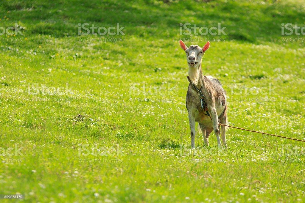 Goat Laughs stock photo
