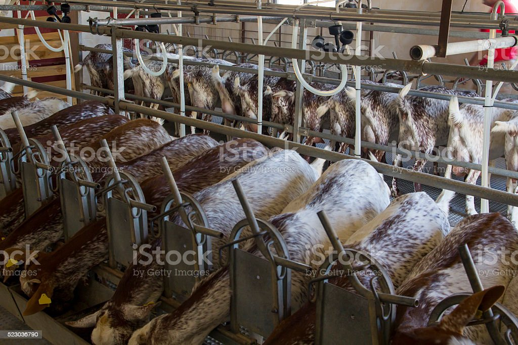 Goat livestock, eating and milking stock photo