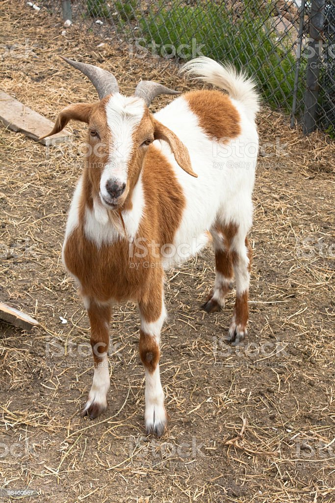 A goat looking forwards outside stock photo