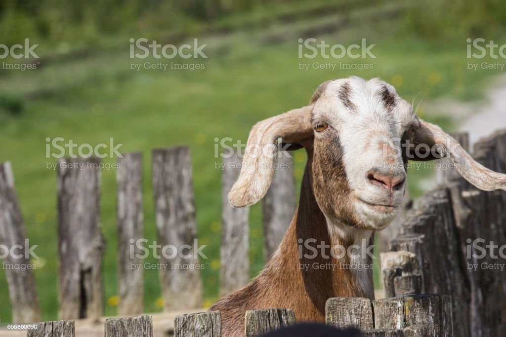 goat looking over the fence stock photo