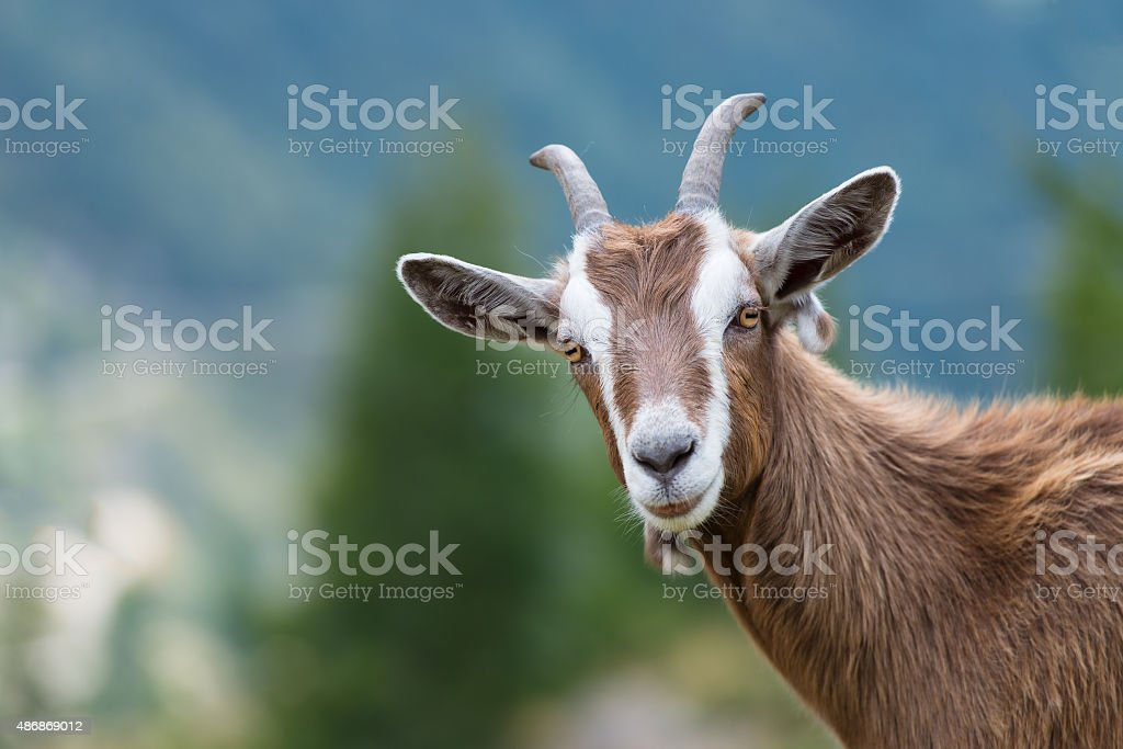 Goat looks at us stock photo