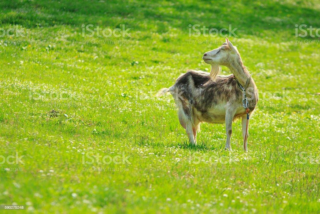 Goat Looks Back stock photo