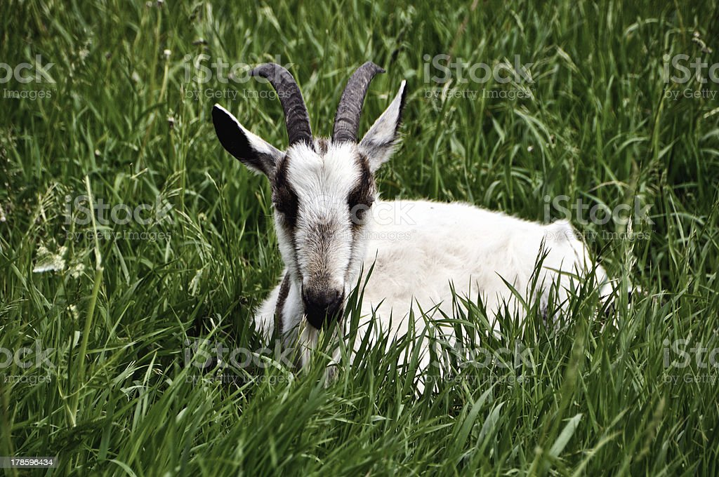 Goat lying in the grass royalty-free stock photo