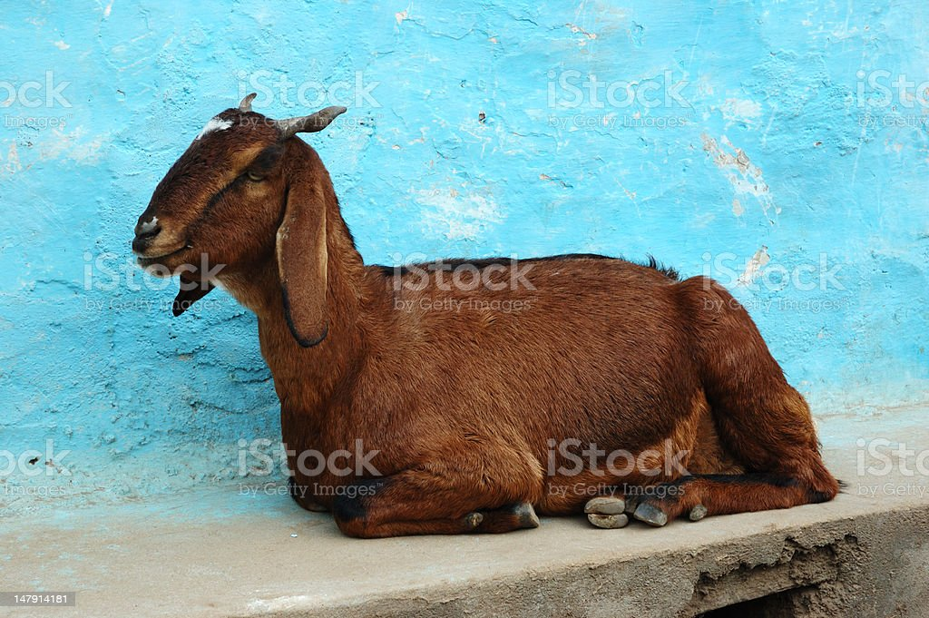 Goat lying on the ground royalty-free stock photo