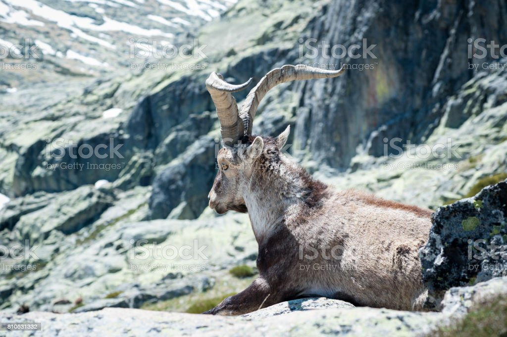 goat lying on the stone of the Gredos mountain stock photo