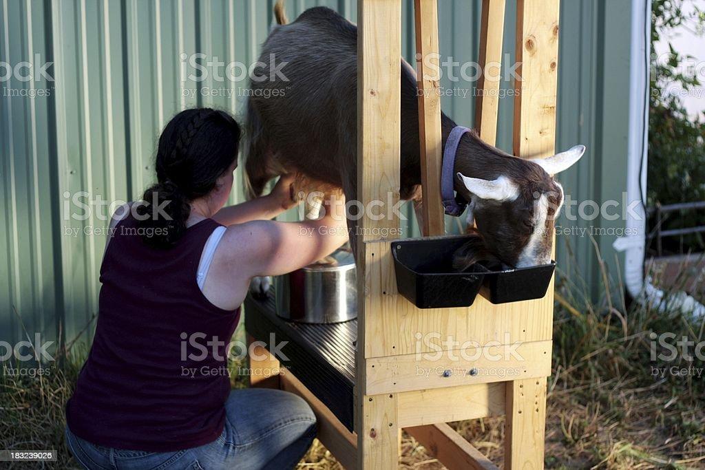 Goat Milking stock photo