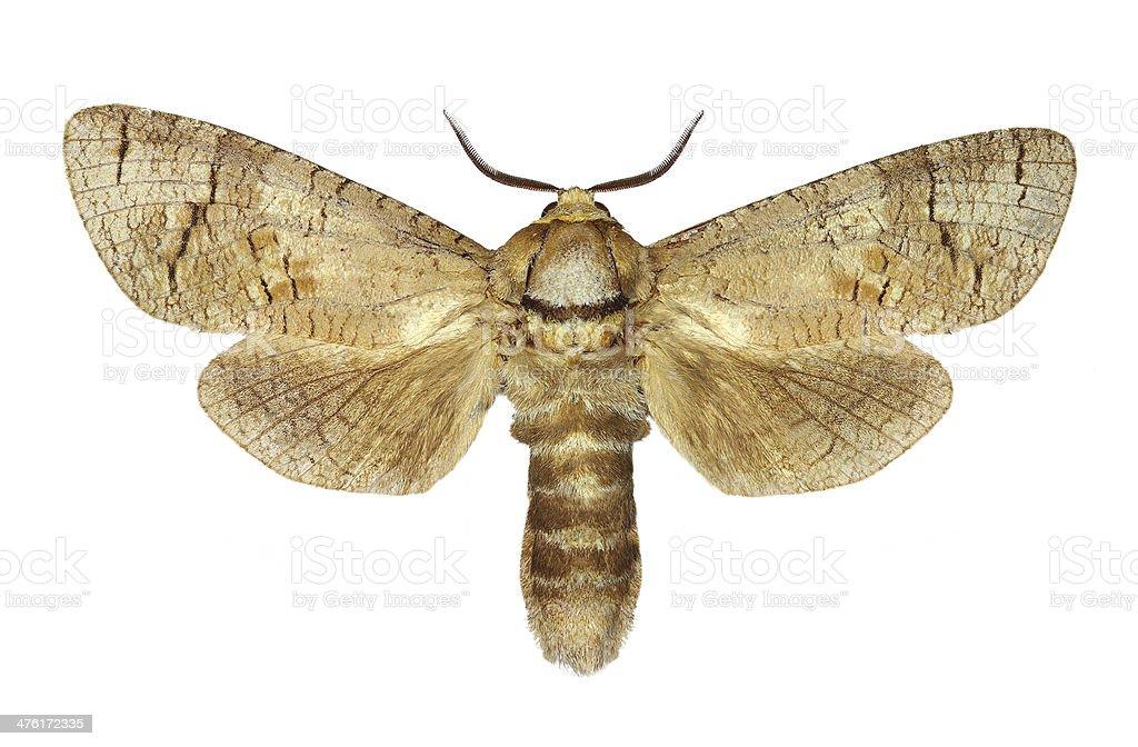 Goat moth (Cossus cossus) stock photo