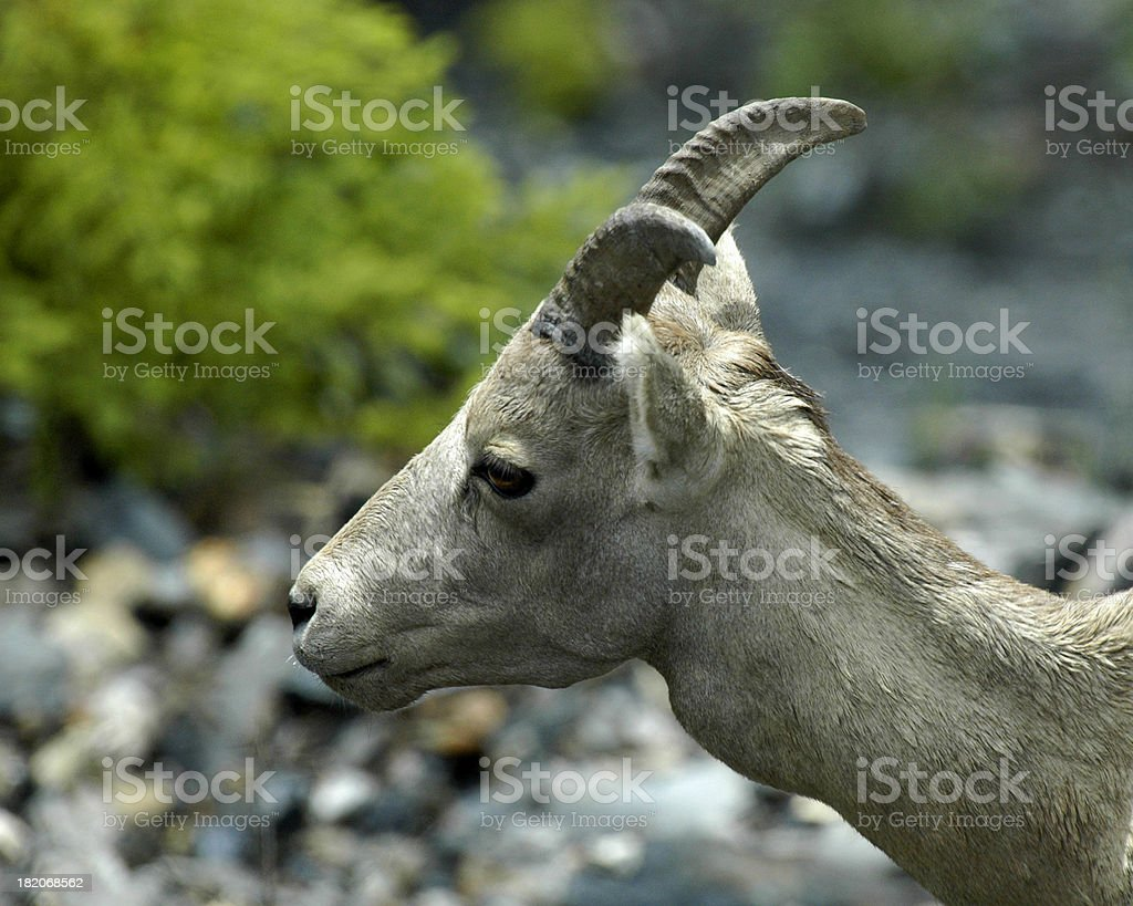 goat mountain stock photo