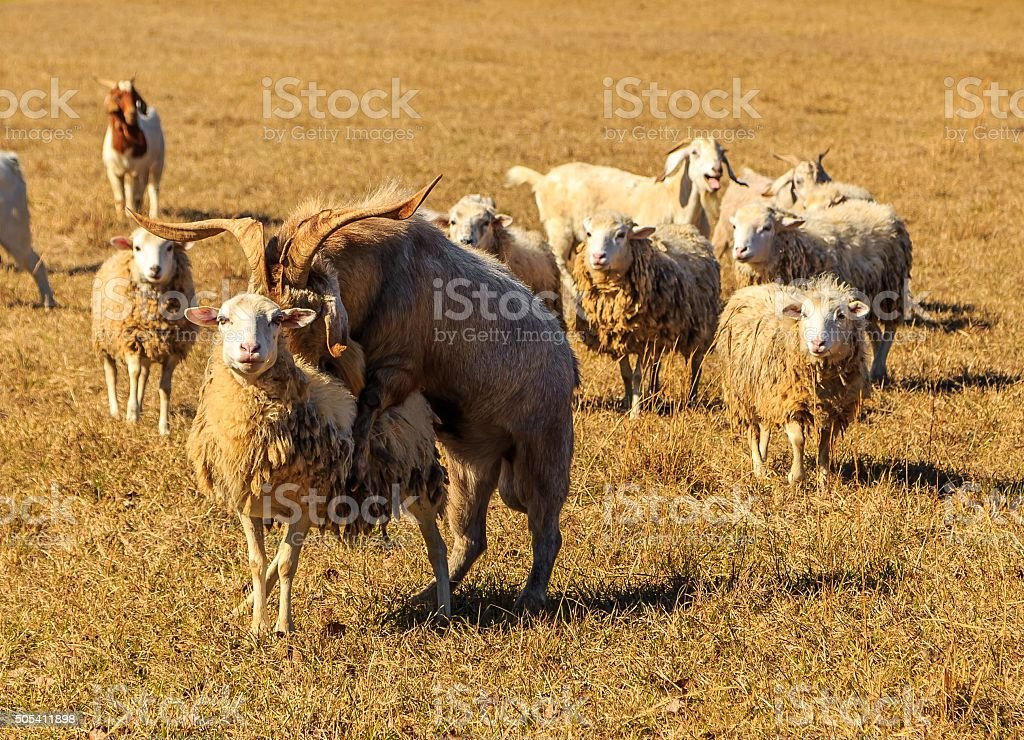 Goat Mounts Sheep in Flock stock photo