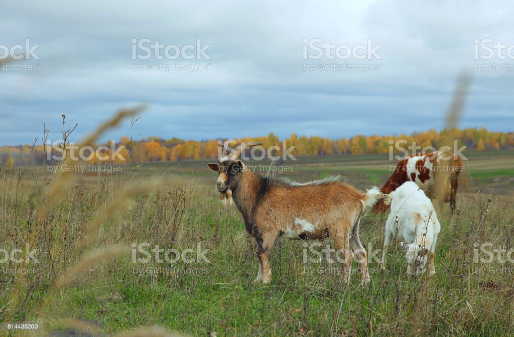 Goat, nanny-goat, and cow grazing in autumn field stock photo